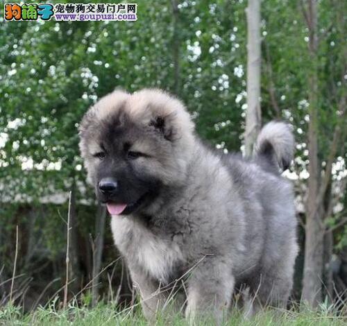 上海CKU认证犬舍出售高品质高加索假一赔万签活体协议