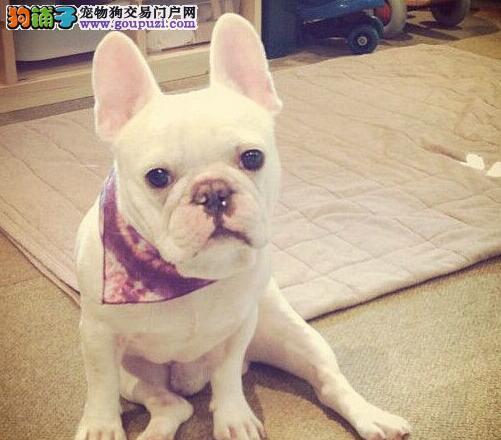 上海正规犬舍高品质法国斗牛犬带证书当日付款包邮