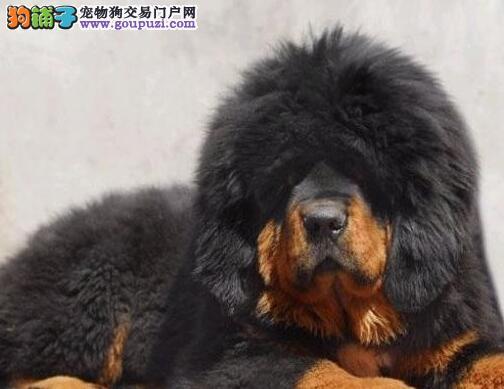 出售原声态霸气拉风南京藏獒幼崽 欢迎上门参观选购