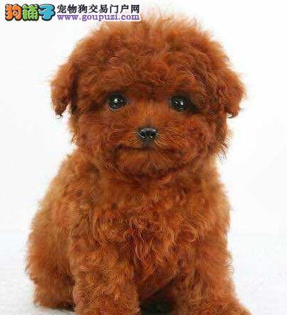 超甜苹果圆脸的烟台泰迪犬找爸爸妈妈 爆毛量双血统