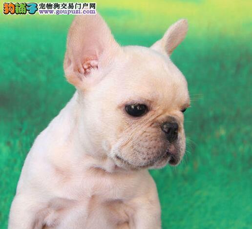 出售大鼻筋纯种无锡斗牛犬 可刷卡可签订售后协议