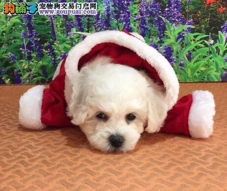 出售忻州比熊专业缔造完美品质购犬可签协议