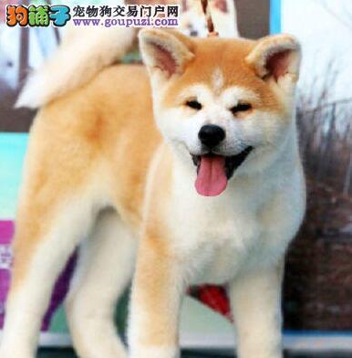直销精品日系秋田犬 乌鲁木齐本地有专业犬舍繁殖
