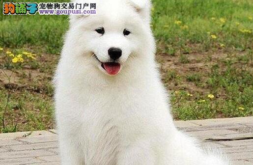 郑州热卖萨摩耶多只挑选视频看狗优质服务终身售后