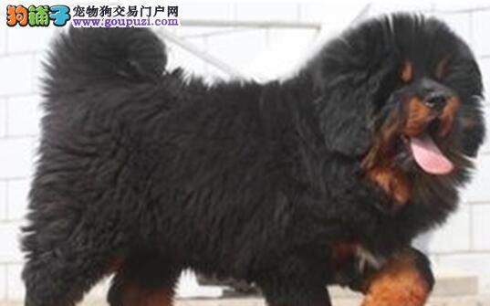 极品原生态藏獒武汉狗场热卖中 欢迎提前接受预定