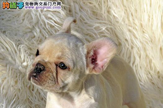 自家养殖纯种法国斗牛犬低价出售微信看狗真实照片包纯