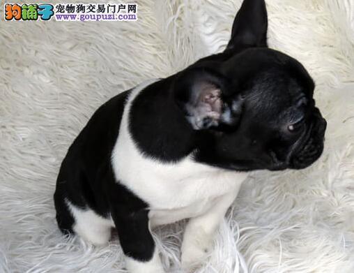 百分百健康纯种法国斗牛犬热卖中国际血统证书