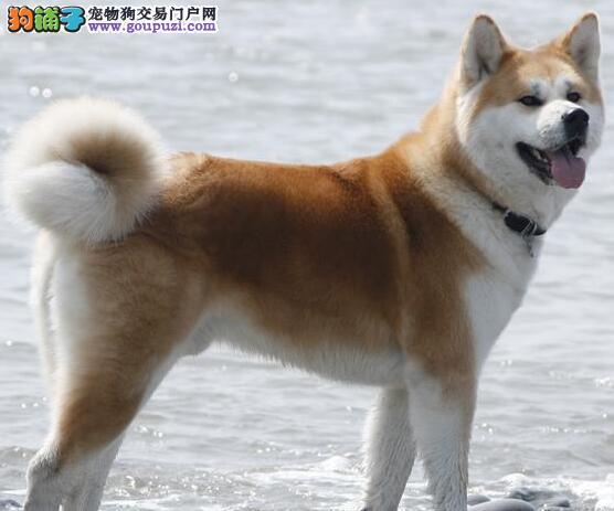家养秋田犬出售、三针齐全保健康、签订正规合同