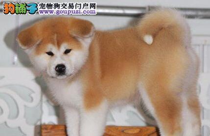 郑州最大犬舍出售多种颜色秋田犬以品质惊世人
