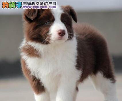 南昌自家繁殖的纯种边境牧羊犬找新家 可上门挑选