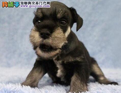 专业犬舍繁殖成都雪纳瑞低价转让 有实体店出售保品质