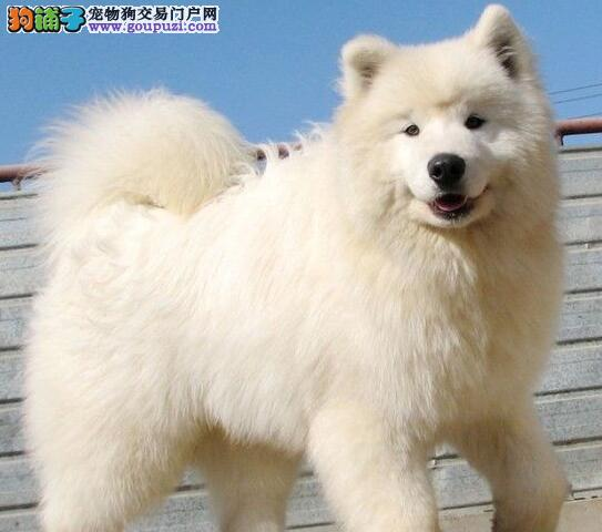 贵阳自家繁殖的萨摩耶幼犬找新家 签订售后协议书