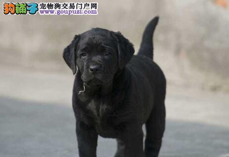 高端品质的洛阳拉布拉多犬找新家 五星级的售后服务