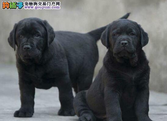 出售纯种冠军血统拉布拉多犬 温州市内可送狗到家