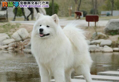 出售优质纯种澳版北京萨摩耶 喜欢速来购买品质有保证