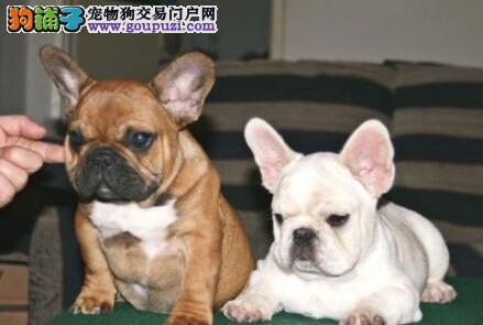 洛阳繁殖基地出售高品质斗牛犬 欢迎随时上门看狗
