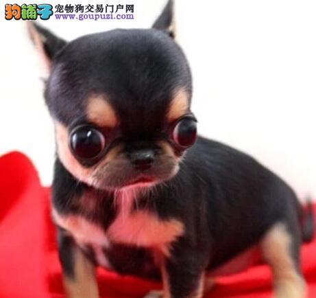 漂亮活泼的吉娃娃犬出售苹果头金鱼眼保健康欢迎选购