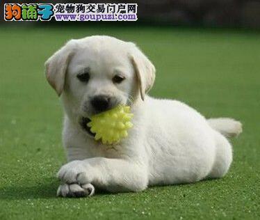呼和浩特犬舍直销纯种拉布拉多幼犬 上门可见狗父母