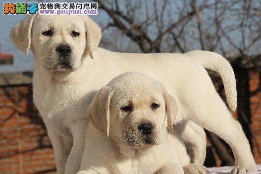 洛阳专业繁殖出售赛级拉布拉多犬 品种优良血统纯正