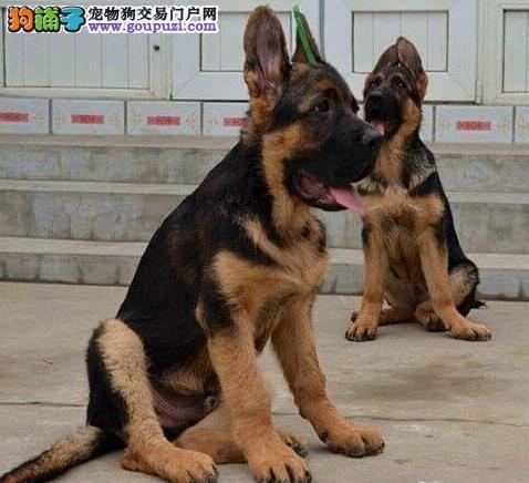 高品质德国牧羊犬幼犬成都狗场直销 血统正宗 健康质保