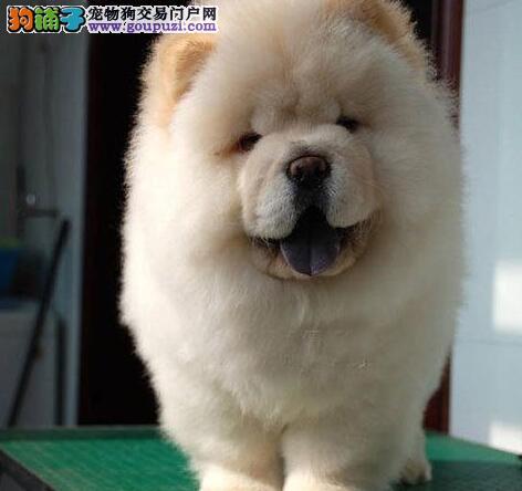 出售西城自家繁殖的肉嘴松狮犬 喜欢的朋友不要错过