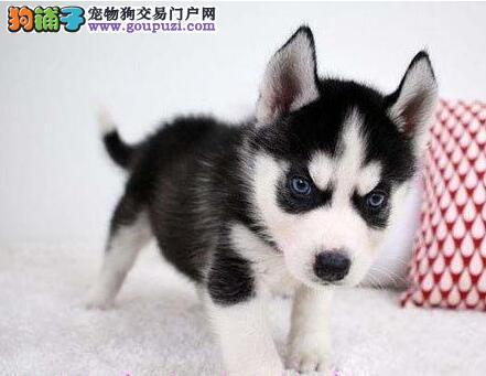 哈士奇双蓝眼幼犬 纯种哈士奇雪橇犬出售苏州宠物