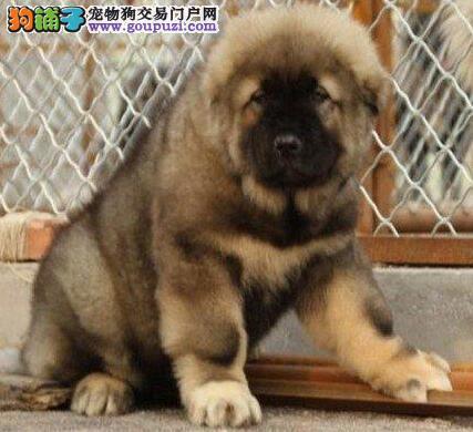 正规基地转让成都高加索犬可办理血统证书
