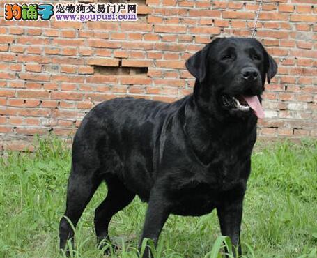 出售纯种忠实聪明的东莞拉布拉多犬 三个月包退包换