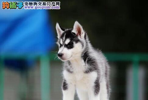 哈尔滨本地狗场直销纯种高品质哈士奇 保健康保纯度