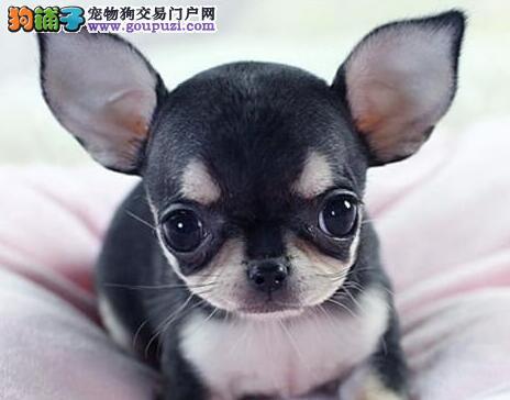 大眼睛身体健康的唐山吉娃娃犬热销中 可办理芯片证