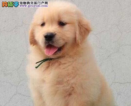 洛阳大型犬舍出售纯种健康的金毛犬 可签协议可送货