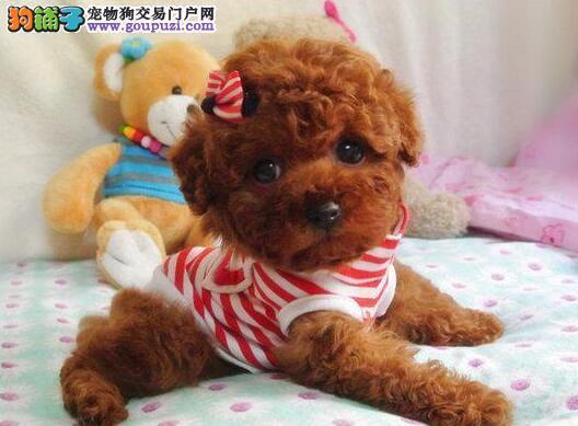 AKC认证精品泰迪熊,白色,咖啡色,玩赏犬