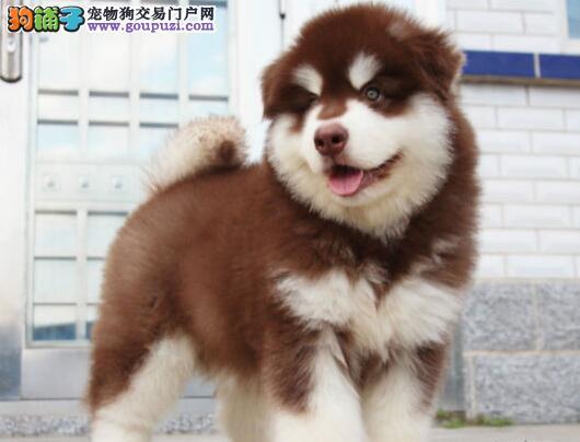 出售自家繁殖阿拉斯加幼犬