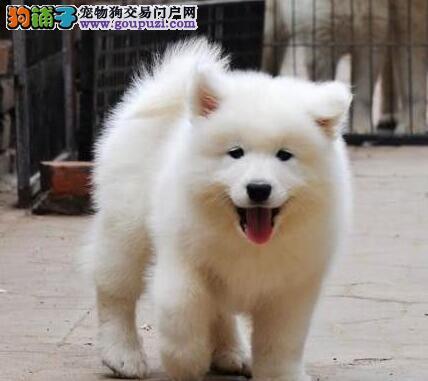白魔法血系 秋丽安后代 正宗澳版萨摩耶犬出售