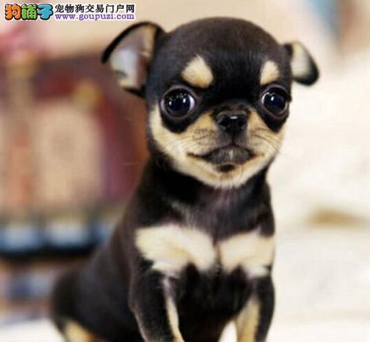 吉娃娃 幼犬 纯种 健康 狗狗 宠物狗 宠物犬
