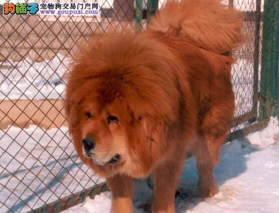 太原实体犬舍出售狮子头品相的藏獒幼崽 狗贩子勿扰