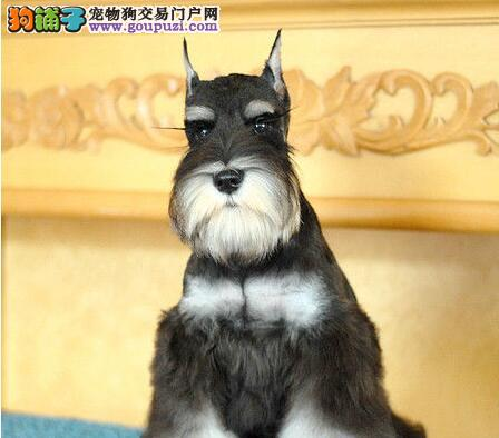 勇敢的迷你雪纳瑞武汉狗场直销 非常友好聪明 容易驯服