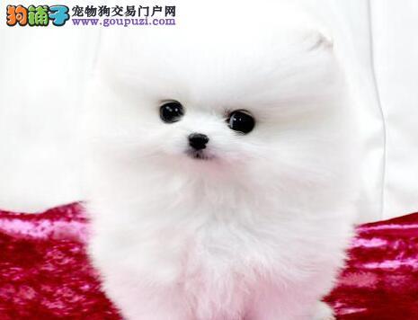 出售超大毛量超小体型的博美犬 太原的朋友上门选购