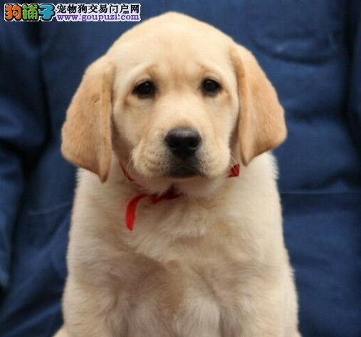 实体店面出售西宁拉布拉多犬 我们承诺售后三包