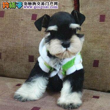 狗场优惠促销精品武汉雪纳瑞颜色纯正质量保证