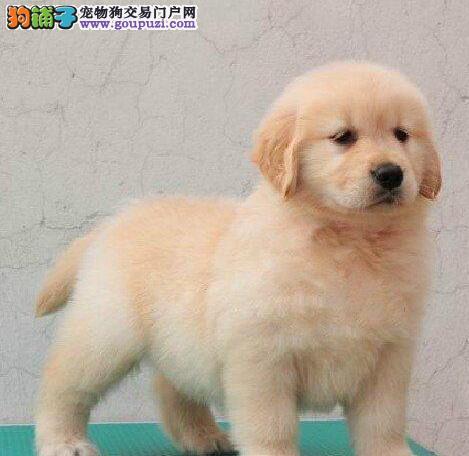金毛犬 广州什么地方有卖 买好狗到贝尔狗场
