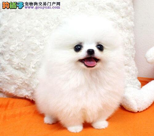 衢州热卖博美犬多只挑选视频看狗品质一流三包终身协议