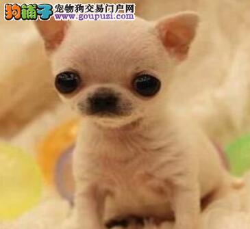 天津出售颜色齐全身体健康吉娃娃欢迎实地挑选