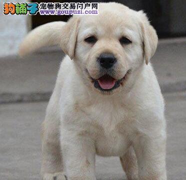 直销价热销纯种拉布拉多犬 哈尔滨专业犬舍饲养保健康