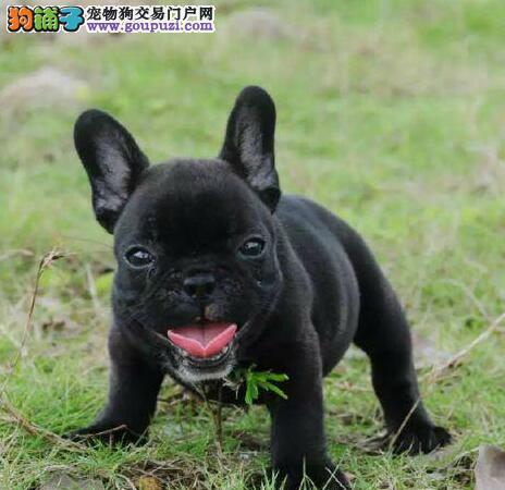 CKU认证犬舍 专业出售极品 法国斗牛犬幼犬赛级品质保障