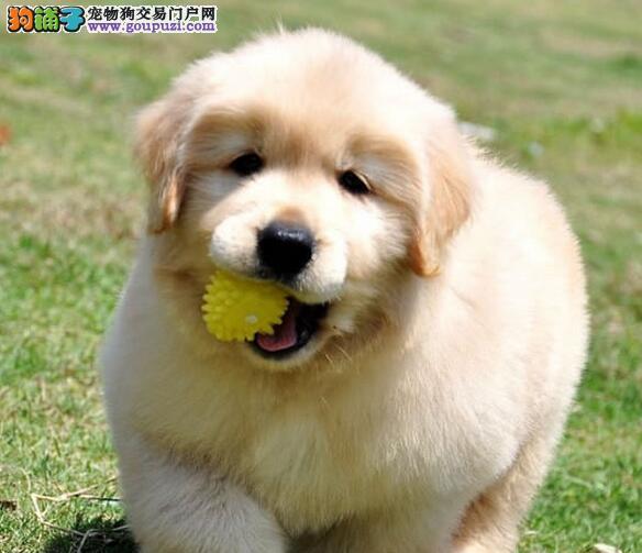 狗场专业繁殖出售纯种金毛犬 大头黄金猎犬金毛幼犬