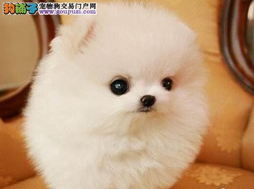 南宁CKU认证犬舍出售超小体博美犬 可爱伶俐狗宝宝