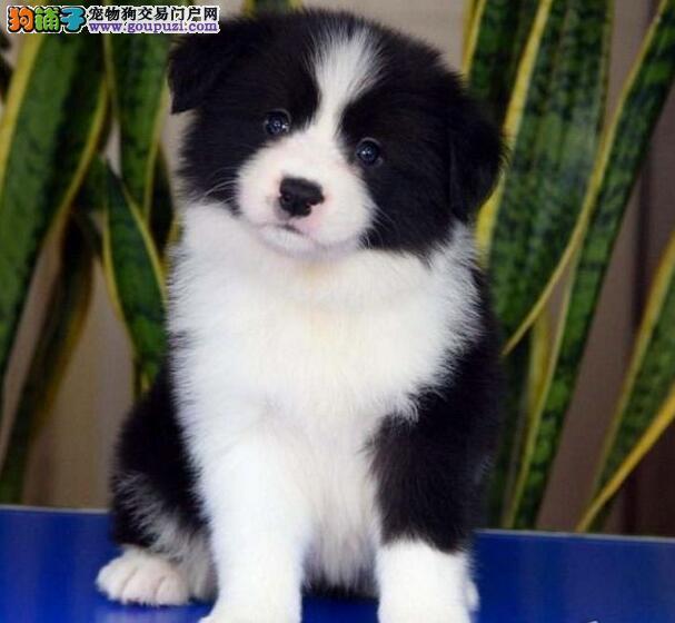 家养精品边境牧羊犬转让广州地区购犬可优惠