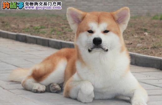 那曲繁殖基地出售多种颜色的秋田犬全国十佳犬舍