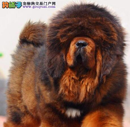 大狮子头异常凶猛的贵阳藏獒幼崽 我们承诺售后三包